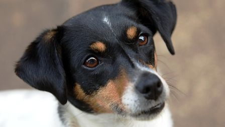 A Jack Russell (Pic credit: PA)