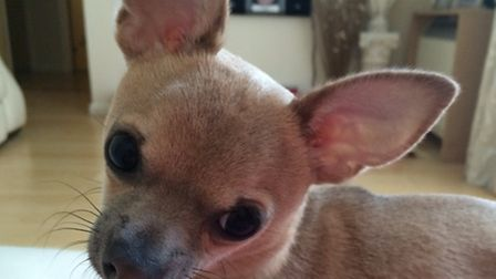 Sharnae's chihuahua was stolen
