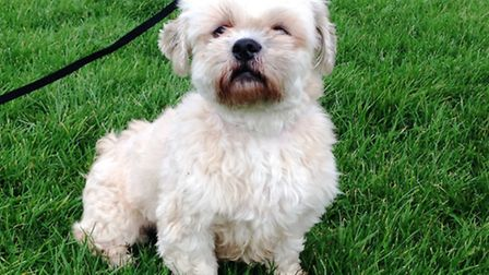 Izzy is a 10-year-old female Lhasa Apso