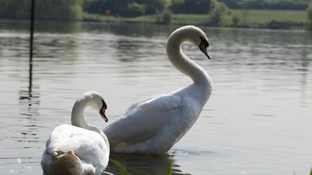 Swans at the Welsh Harp where Marcus Flavien drowned