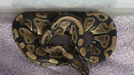 The Royal Python is in the care of the Mayhew