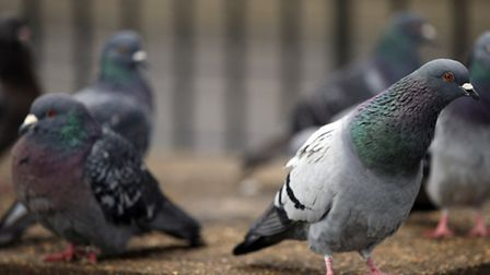 Feeding pigeons in the Palmer Estate could lead to eviction, the letter said. Picture: Jonathan Brad