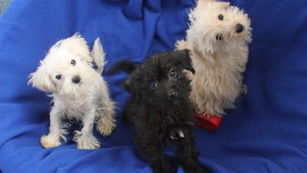 The pups when they arrived at the Mayhew