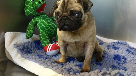 Peter the pug was left to die in a street in Neasden (Pic: RSPCA)
