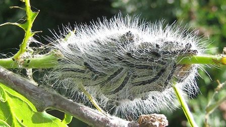 A caterpillars of the oak processionary moth (Pic: Crown copyright/Forestry Commission)