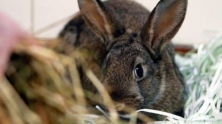 Timid: Rabbit experts warn the animals are easily stressed (Picture: Gareth Fuller/PA)