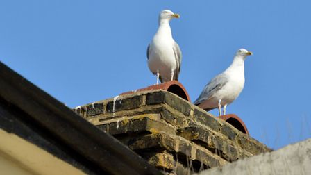 Seagulls in St John's Grove (Picture: Polly Hancock)