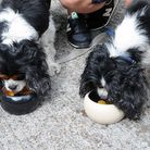The Brownswood pub, where beer is served to dogs. King Charles Spaniels, Lulu and Ollie, enjoy the t