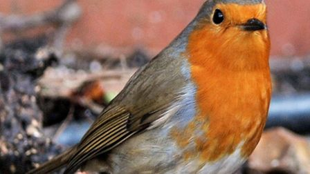 A robin in a residential garden (Picture: PA)