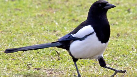 A file image of a magpie. Picture: TONY HISGETT/FLICKR (CC BY 2.0)