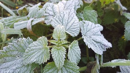 Frost on nettles. Picture: WILL McCALLUM