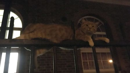 Cat impaled on 8ft metal railings in Cricklewood (Picture: RSPCA)