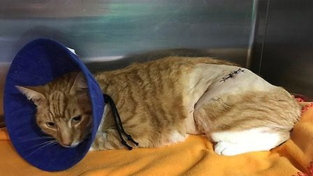 Skittles, named Angus by the RSPCA, recovering after being impaled on 8ft railings (Picture: RSPCA