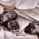 The three hamsters found abandoned in Queen's Park. Picture: RSPCA