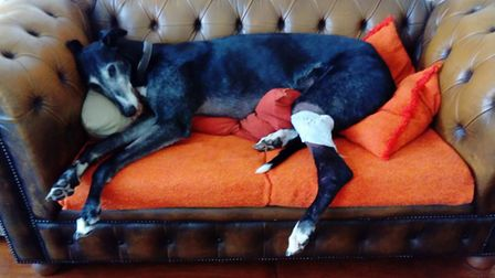 Tarquin the greyhound recovering from his wounded knee. Picture: Anna Parker