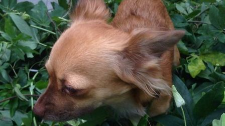 Lola the chihuahua was shot dead by cowardly criminals. Picture: Suzanne Day
