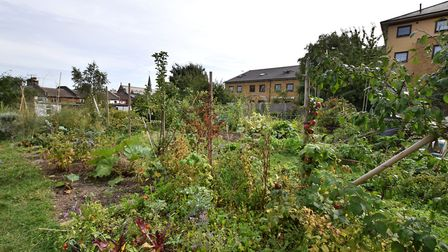 Quill Street Allotments. Picture: Polly Hancock