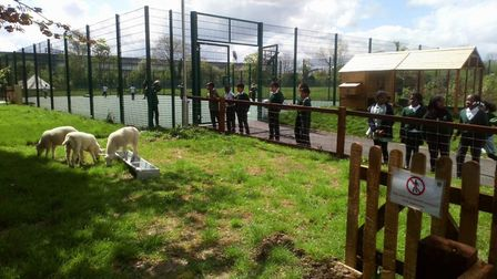 Elsley Primary School pupils look at lambs that have come to stay over the summer term
