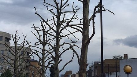 Short-back-and-sides given to the street trees outside Arsenal stadium recently. Picture: ANDREW MY
