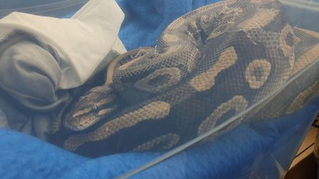 The snake has now been taken into the RSPCA's care. Picture: RSPA