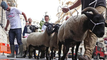 A flock of sheep being herded past government buildings in Whitehall by 'Farmers for a People's Vote