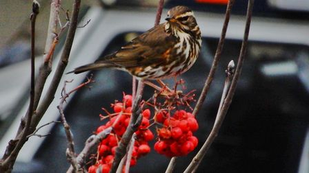 A Redwing photographed from a window in Islington. Picture: MAVIS PILBEAM