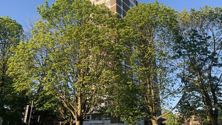 Trees threatened with felling by Islington Council to make way for flats at Dixon Clark Court. Pictu