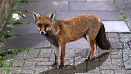 Foxes are opening rubbish bags left out on the street. Picture: PA Images