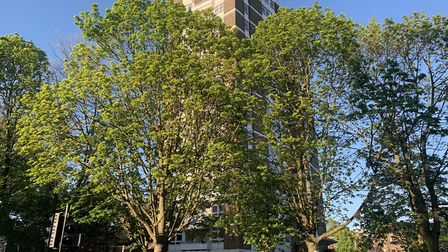 The trees at Dixon Clark Court are scheduled to be felled. Picture: Alex Hofford
