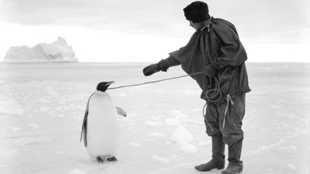Thomas Clissold leads an Emperor penguin by a rope in the Ross Dependency, during Captain Robert Fal