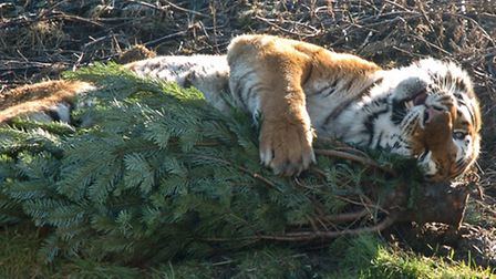 Tigers let out into forest of Christmas trees donated by Bristol Garden centre.