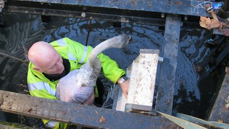Martin Kendall of Secret World Wildlife Rescue removing the swan from the culvert
