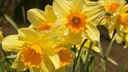 Daffodils brighten up Nailsea thanks to the Nailsea Lions.