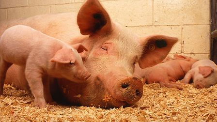 Feed the piglets at Court Farm, Banwell