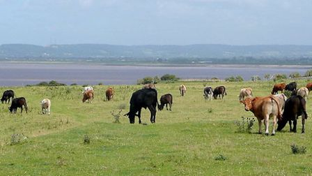 (Cattle on Middle Hope 2 for ST3466 © Copyright Jonathan Billinger under CC BY-SA 2.0)