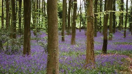 Bluebells at Goblin Combe near Cleeve © Martin Bodman, Geographic