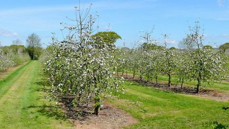 Thatchers orchard. Jonathan Billinger [CC BY-SA 2.0 (http://creativecommons.org/licenses/by-sa/2.0)]