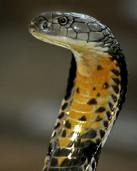 The six-year-old king cobra is 9.5ft long that will grow to 18ft long. Picture: Jeremy Long.