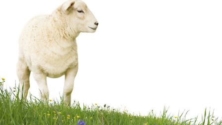 The sheep were ill and injured. (Picture: Getty Images/iStockphoto).
