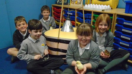 Pupils looking after their new chicks.
