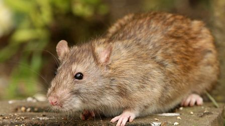 Is your home safe from rats?