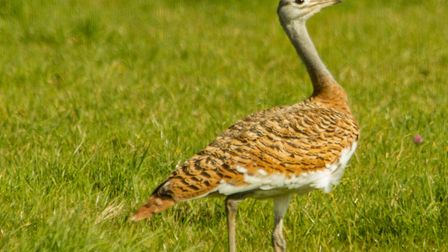 A rare bird, the Great Bustard, has been sighted in Chewton Mendip after making its way from the Sal
