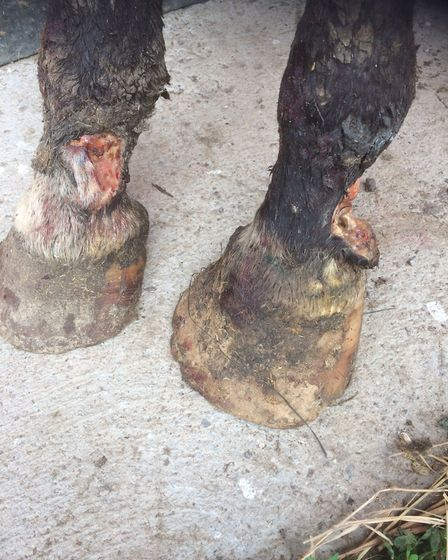 The injuries sustained by one of the horses. Picture: RSPCA