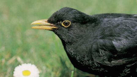 Blackbirds were most commonly seen in the recent survey. Picture: Stockbyte/Getty Images