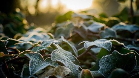 Early morning with a mild crisp frost on the ground ivy. Beautifully fresh.