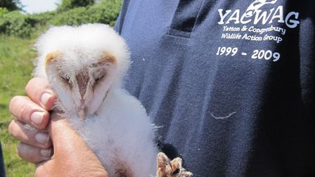 A young barn owl raised on YAGWAGs land.Picture: YACWAG