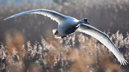 A beautiful image of a swan taking flight. Picture: Rob Blamire