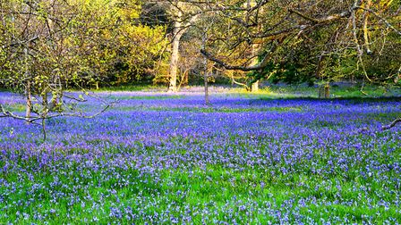 An open field covered in purple flowers. Picture: Rob Blamire