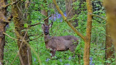 A deer spotted in the woods. Picture: Rob Blamire