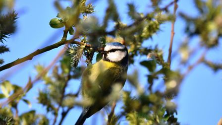 A captivating photo of a blue tit nestled in a tree. Picture: Rob Blamire